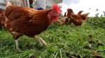 Geflügelpest in Bremen ausgebrochen