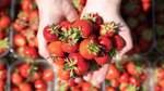 Hier kann man Erdbeeren selbst pflücken in Bremen und umzu