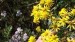 Gelbes Gift auf Wiesen und an Straßenrändern