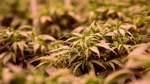 Cannabis-Verkauf bleibt Nischengeschäft