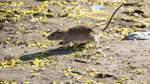Ratten sorgen für Nachbarschaftsstreit