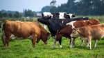 Altersheim für Kühe