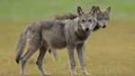 Wolfsmeldungen auch aus Huchting und Seehausen